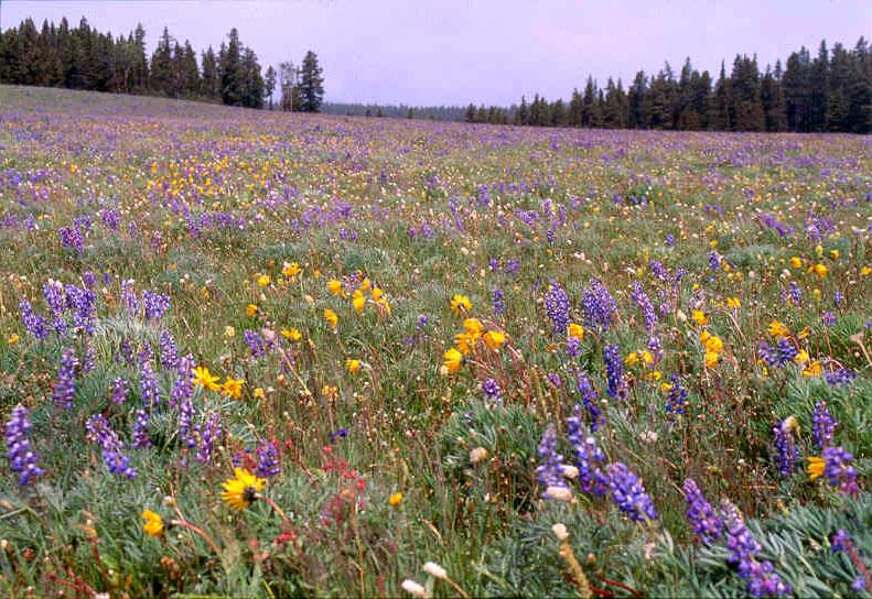 Rocky Mountain Flowers