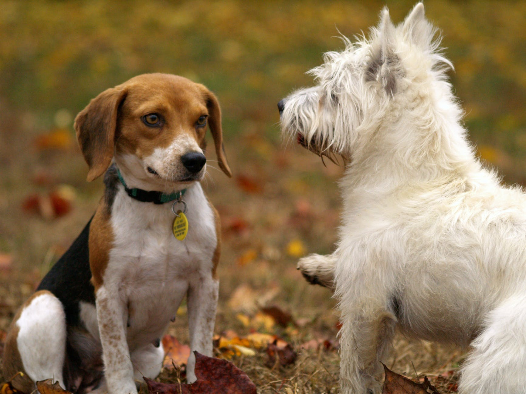 tri color beagle and west highland white terrier puppies playing on lawn grass